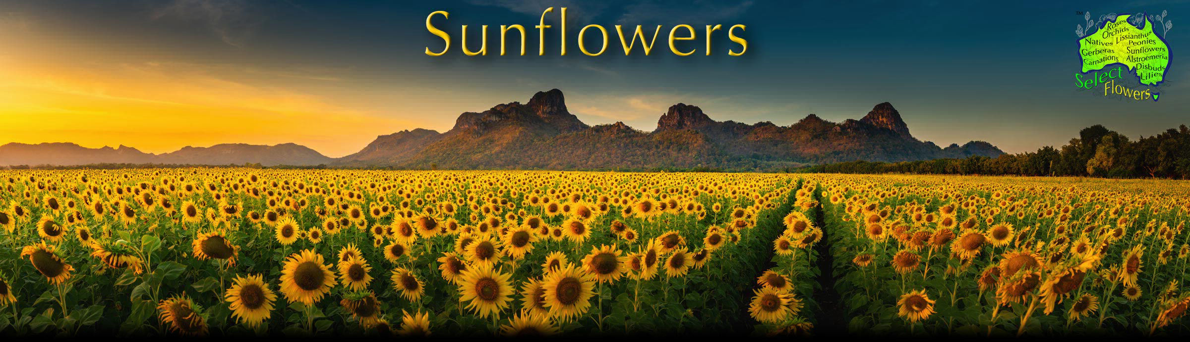 SUNFLOWERS PANORAMA